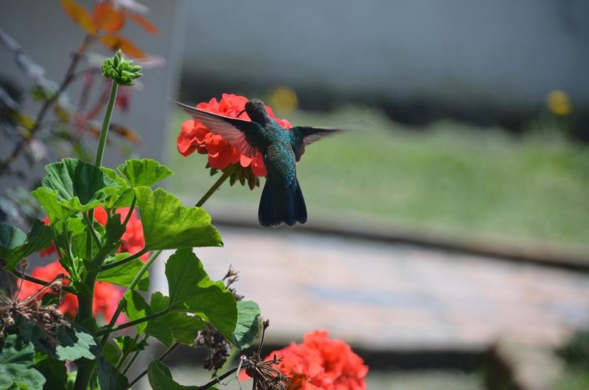 Cotacachi Hummingbird