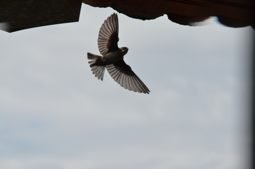 Soaring Swallow