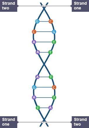 model of DNA